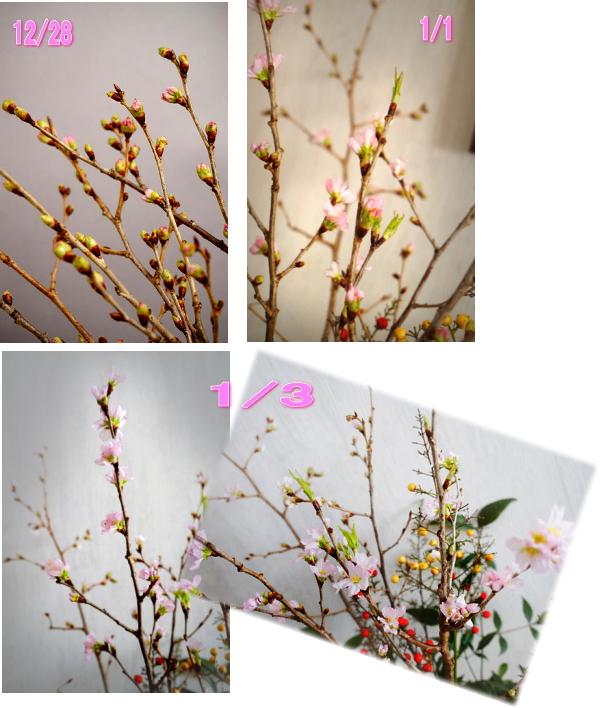 桜の開く様子